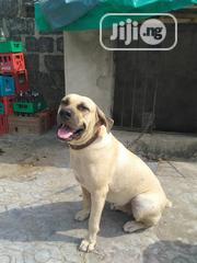 Adult Female Purebred Boerboel   Dogs & Puppies for sale in Lagos State, Isolo