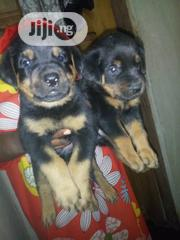 Ahmadinho Agro Pet And Kennel | Dogs & Puppies for sale in Oyo State, Ibadan