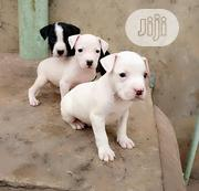Baby Female Purebred American Pit Bull Terrier | Dogs & Puppies for sale in Oyo State, Ido