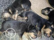 Baby Female Purebred Rottweiler | Dogs & Puppies for sale in Ogun State, Abeokuta South