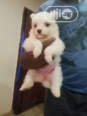 Baby Female Purebred American Eskimo Dog | Dogs & Puppies for sale in Oyo State, Ibadan