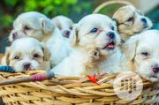Baby Female Purebred Lhasa Apso | Dogs & Puppies for sale in Osun State, Osogbo
