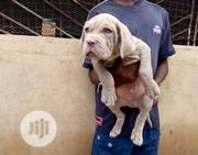 Baby Male Purebred Neapolitan Mastiff | Dogs & Puppies for sale in Abuja (FCT) State, Jikwoyi