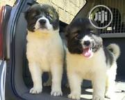 Baby Male Purebred Caucasian Shepherd Dog | Dogs & Puppies for sale in Abuja (FCT) State, Jikwoyi