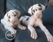 Baby Female Purebred Great Dane | Dogs & Puppies for sale in Abuja (FCT) State, Jikwoyi