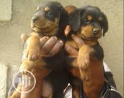 Young Male Mixed Breed Rottweiler | Dogs & Puppies for sale in Rivers State, Port-Harcourt