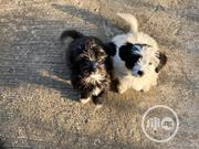 Baby Female Mixed Breed Lhasa Apso | Dogs & Puppies for sale in Abuja (FCT) State, Jabi