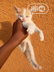 Baby Female Mixed Breed American Wirehair   Cats & Kittens for sale in Abuja (FCT) State, Wuse