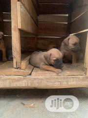 Baby Female Purebred Boerboel | Dogs & Puppies for sale in Osun State, Osogbo