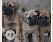 Baby Male Purebred Bullmastiff | Dogs & Puppies for sale in Abuja (FCT) State, Jikwoyi