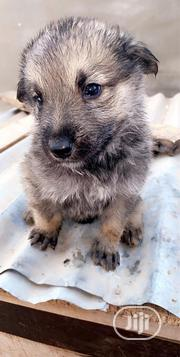 Baby Female Mixed Breed Caucasian Shepherd Dog | Dogs & Puppies for sale in Osun State, Osogbo