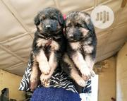 Baby Female Purebred German Shepherd Dog | Dogs & Puppies for sale in Abuja (FCT) State, Jikwoyi