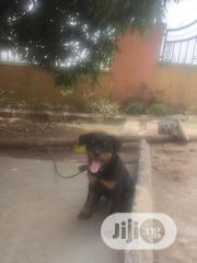 Baby Female Purebred Rottweiler | Dogs & Puppies for sale in Abuja (FCT) State, Durumi