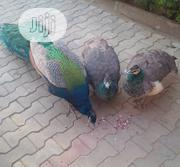 Matured Peacock For Sale   Livestock & Poultry for sale in Kano State, Bagwai