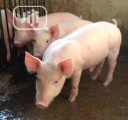 Matured Pigs Available For Sale | Livestock & Poultry for sale in Imo State, Ehime-Mbano