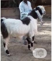 A Pair Of Gulabi Goats Available For Sale | Livestock & Poultry for sale in Kano State, Kano Municipal