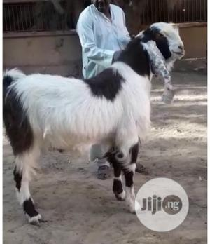 A Pair Of Gulabi Goats Available For Sale
