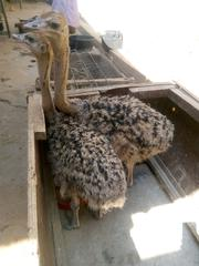 Ostrich Birds Two To Four Weeks Old | Birds for sale in Katsina State, Funtua