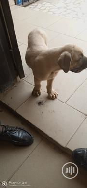 Baby Male Purebred Boerboel | Dogs & Puppies for sale in Abuja (FCT) State, Apo District