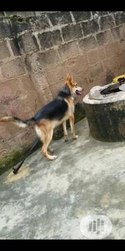 Young Female Purebred German Shepherd Dog | Dogs & Puppies for sale in Abuja (FCT) State, Gwarinpa