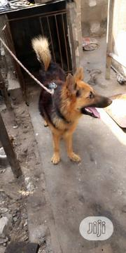 Adult Female Purebred German Shepherd Dog | Dogs & Puppies for sale in Abuja (FCT) State, Gwarinpa