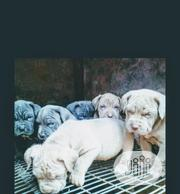Baby Male Purebred Neapolitan Mastiff | Dogs & Puppies for sale in Lagos State, Magodo