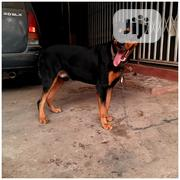 Pure Bred Gaint Rotwailer Stud Service | Pet Services for sale in Lagos State, Ojo