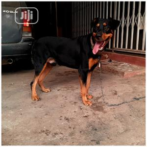 Pure Bred Gaint Rotwailer Stud Service