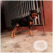 Pure Breed Giant Rottweiler For Stud Service | Pet Services for sale in Lagos State, Ikotun/Igando