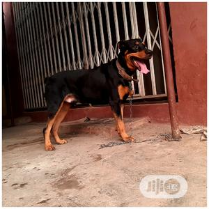 Pure Breed Giant Rottweiler For Stud Service