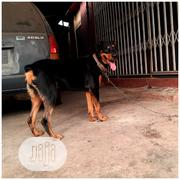 Pure Bred Rottweiler Ready For Stud Service | Pet Services for sale in Lagos State, Orile