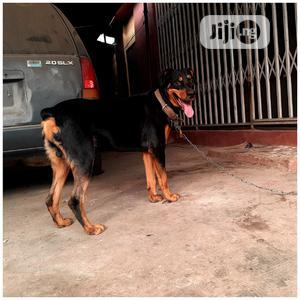 Pure Bred Rottweiler Ready For Stud Service
