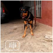 Gaint Pure Rottweiler Available For Stud Service | Pet Services for sale in Lagos State, Badagry