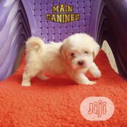 Young Female Purebred Lhasa Apso | Dogs & Puppies for sale in Lagos State, Maryland