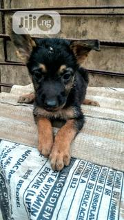 Baby Male Purebred German Shepherd Dog | Dogs & Puppies for sale in Ogun State, Ifo