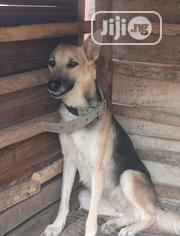 Senior Female Purebred German Shepherd Dog | Dogs & Puppies for sale in Oyo State, Oluyole