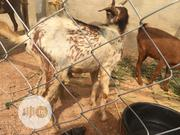 Healthy Goats For Sale | Livestock & Poultry for sale in Oyo State, Oluyole