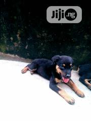 Young Male Mixed Breed Rottweiler | Dogs & Puppies for sale in Oyo State, Ibadan