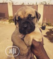 Baby Male Purebred Boerboel | Dogs & Puppies for sale in Abuja (FCT) State, Durumi