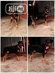 Big Giant Rottweiler Stud Service | Pet Services for sale in Lagos State, Ojo