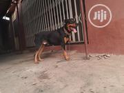 Massive Big Rottweiler Stud Service | Pet Services for sale in Lagos State, Ikotun/Igando