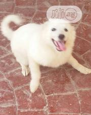 Young Female Purebred Samoyed | Dogs & Puppies for sale in Abuja (FCT) State, Kubwa