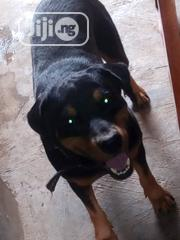 Adult Male Purebred Rottweiler | Dogs & Puppies for sale in Ogun State, Abeokuta South