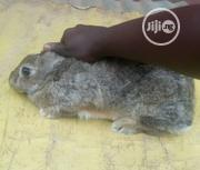 Chinchilla Breed | Other Animals for sale in Ogun State, Abeokuta South