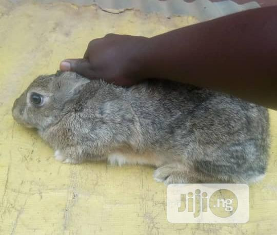 Archive: Chinchilla Breed