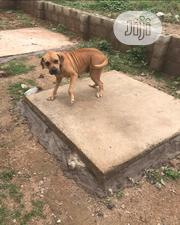 Adult Female Purebred Boerboel | Dogs & Puppies for sale in Osun State, Osogbo