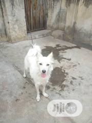 Adult Female Purebred American Eskimo Dog | Dogs & Puppies for sale in Oyo State, Ido