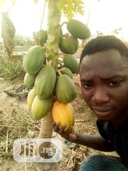 Dwarf Pawpaw Seeds And Seedlings For Sale At Affordable Prices | Feeds, Supplements & Seeds for sale in Oyo State, Ona-Ara