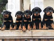 Baby Male Purebred Rottweiler | Dogs & Puppies for sale in Delta State, Oshimili South