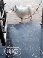 Young Male Purebred Samoyed | Dogs & Puppies for sale in Oyo State, Ibadan